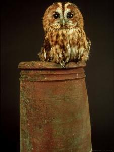 Tawny Owl, UK by Les Stocker