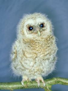 Tawny Owl, Young, UK by Les Stocker