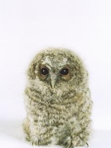 Tawny Owl, Young by Les Stocker