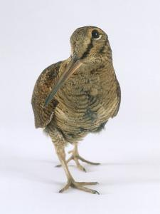 Woodcock, St. Tiggywinkles, UK by Les Stocker