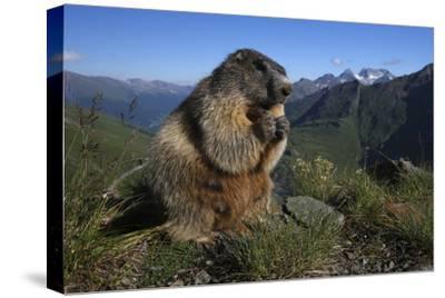 Alpine Marmot (Marmota Marmota) Feeding, Hohe Tauern National Park, Austria, July 2008