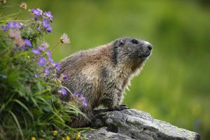 Alpine Marmot (Marmota Marmota) Hohe Tauern National Park, Austria, July 2008 by Lesniewski