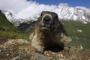 Alpine Marmot (Marmota Marmota) Portrait, Hohe Tauern National Park, Austria, July 2008 by Lesniewski