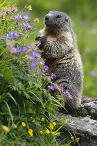 Alpine Marmot (Marmota Marmota) Standing on Hind Legs Feeding on Flowers, Hohe Tauern Np, Austria by Lesniewski