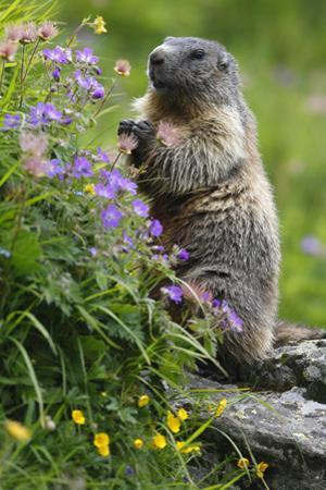 Alpine Marmot (Marmota Marmota) Standing on Hind Legs Feeding on Flowers, Hohe Tauern Np, Austria