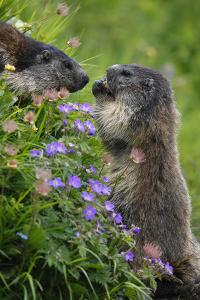Alpine Marmots (Marmota Marmota) Feeding on Flowers, Hohe Tauern National Park, Austria, July 2008 by Lesniewski