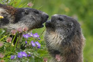 Alpine Marmots (Marmota Marmota) Feeding on Flowers, Hohe Tauern National Park, Austria by Lesniewski