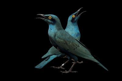 Lesser Blue-Eared Glossy Starlings, Lamprotornis Chloropterus, at the Houston Zoo-Joel Sartore-Photographic Print