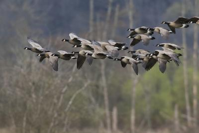 Lesser Cackling Canada Geese-Ken Archer-Photographic Print