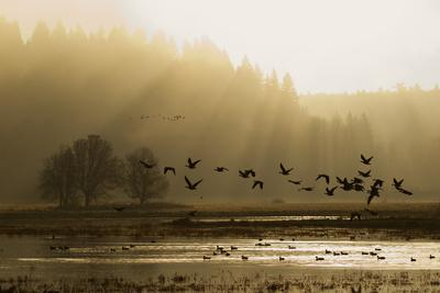 https://imgc.artprintimages.com/img/print/lesser-canada-geese-flying-at-dawn_u-l-q1d2beb0.jpg?p=0