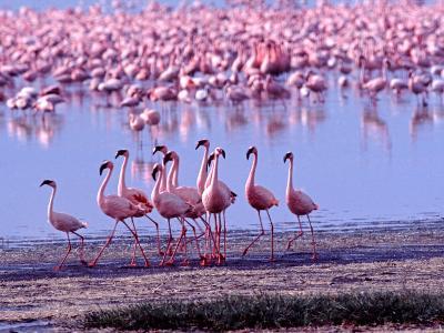 Lesser Flamingo and Eleven Males in Mating Ritual, Lake Nakuru, Kenya-Charles Sleicher-Photographic Print