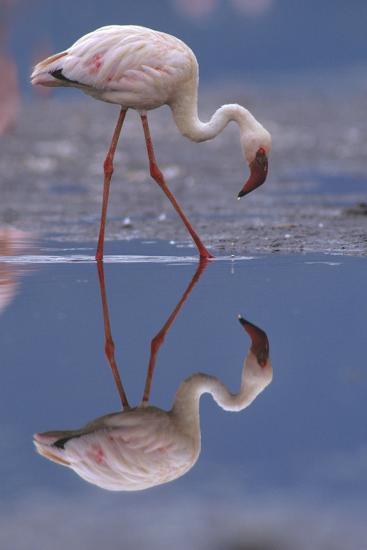 Lesser Flamingo and its Reflection, Kenya, Africa-Tim Fitzharris-Photographic Print