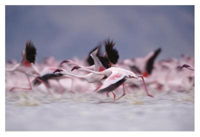 Lesser Flamingo flock taking flight from the surface of a lake, Kenya-Tim Fitzharris-Art Print