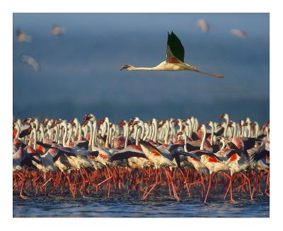 Lesser Flamingo flying over flock, Lake Nakuru, Kenya-Tim Fitzharris-Art Print