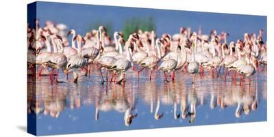 Lesser flamingo, Lake Nakuru, Kenya-Frank Krahmer-Stretched Canvas Print