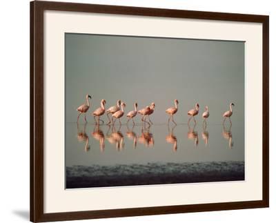 Lesser Flamingo Line of Eleven--Framed Photographic Print