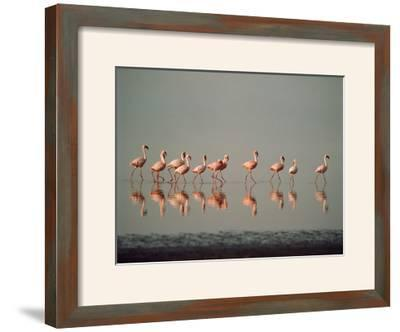 Lesser Flamingo Line of Eleven--Framed Photographic Print