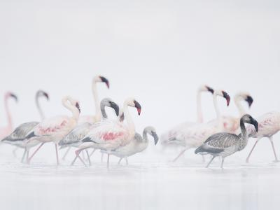 Lesser Flamingo (Phoeniconaias Minor) Adults and Young Wading Through Water-Arthur Morris-Photographic Print