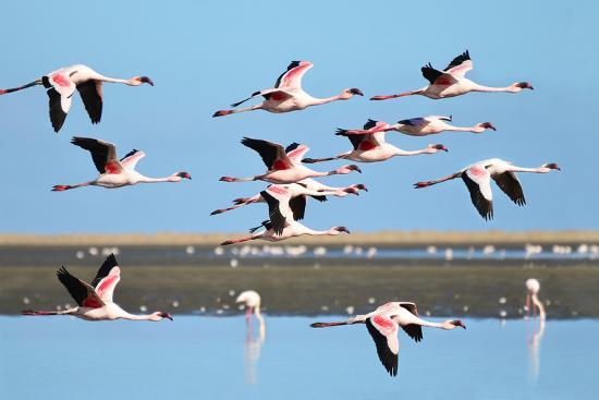 Lesser Flamingo, Phoenicopterus Minor. Photographed in Flight at the Wetlands South of Walvis Bay N- PicturesWild-Photographic Print