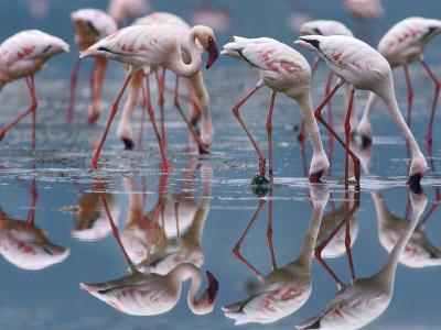 Lesser Flamingos and their Reflections, Kenya, Africa-Tim Fitzharris-Photographic Print