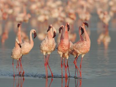 Lesser Flamingos Doing their Courtship Dance, Phoenicopterus Minor, Lake Nakuru, Kenya, Africa-Arthur Morris-Photographic Print