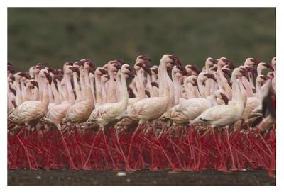 Lesser Flamingos in a mass courtship display, Kenya-Tim Fitzharris-Art Print