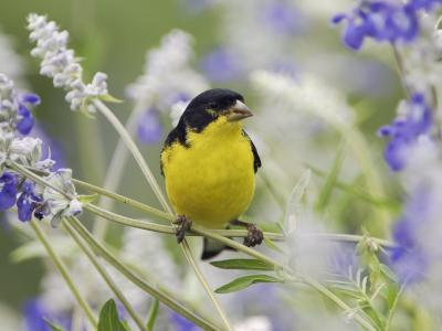 Lesser Goldfinch Black-Backed Male on Mealy Sage Hill Country, Texas, USA-Rolf Nussbaumer-Photographic Print