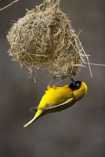 Lesser Masked Weaver (Ploceus Intermedius) Male at Nest Entrance-Neil Aldridge-Photographic Print