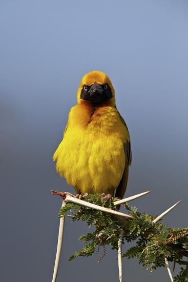 Lesser Masked Weaver (Ploceus Intermedius), Ngorongoro Crater, Tanzania, East Africa, Africa-James Hager-Photographic Print