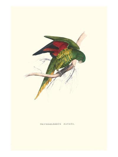 Lesser Maton's Parakeet -Trichoglossus Haematodus-Edward Lear-Art Print
