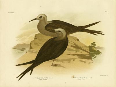 Lesser Noddy, 1891-Gracius Broinowski-Giclee Print
