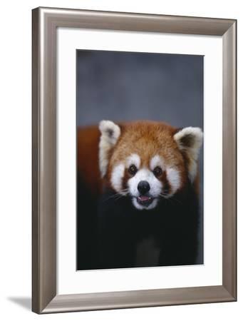 Lesser Panda-DLILLC-Framed Photographic Print