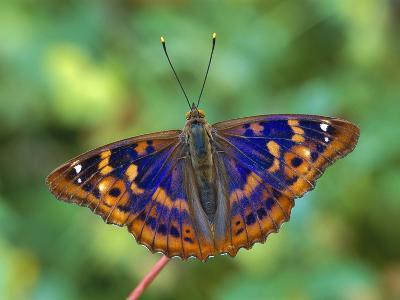 Lesser Purple Emperor (Apatura Ilia) Butterfly, Switzerland-Thomas Marent/Minden Pictures-Photographic Print