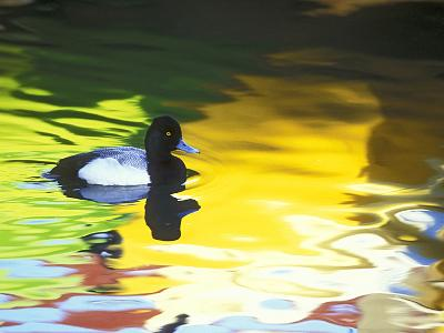 Lesser Scaup Drake, Coronado, California, USA-Arthur Morris.-Photographic Print