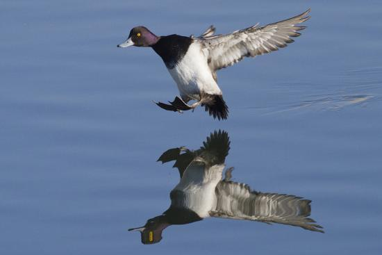 Lesser Scaup Drakes Landing-Hal Beral-Photographic Print