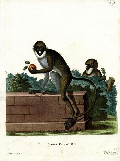 Lesser Spot-Nosed Monkey--Giclee Print