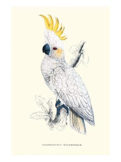 Lesser Sulpher-Crested Cockatoo - Cocatua Sulphurea-Edward Lear-Art Print