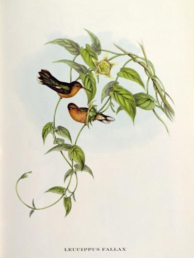 Leucippus Fallax-John Gould-Giclee Print