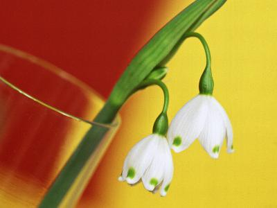 """Leucojum Vernum """"Spring Snowflake"""" in Glass Vase with Red & Yellow Background-James Guilliam-Photographic Print"""