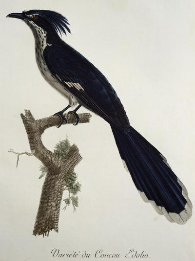 Levaillant's Cuckoo (Clamator Levaillantii)--Giclee Print