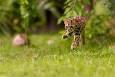 Levitating Leopard Cat-Ashley Vincent-Photographic Print