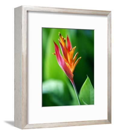 Close Up of Heliconia Flower, Costa Rica, Central America