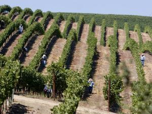 Vineyards in Napa Valley, California, United States of America, North America by Levy Yadid