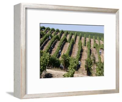 Vineyards in Napa Valley, California, United States of America, North America