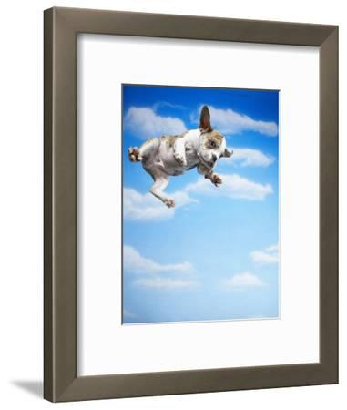 Flying Bulldog Puppy