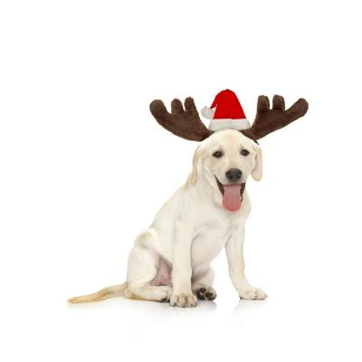 Lab Puppy Wearing Antlers