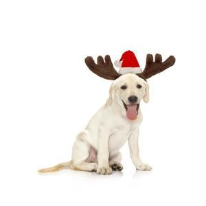 Lab Puppy Wearing Antlers by Lew Robertson