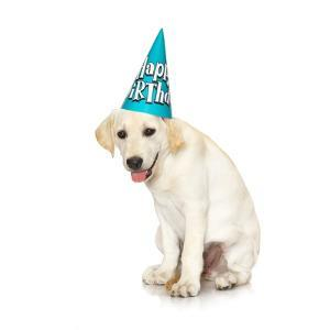 Lab Puppy Wearing Birthday Hat by Lew Robertson