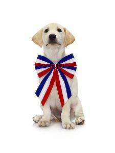 Lab Puppy Wearing Patriotic Bow Tie by Lew Robertson