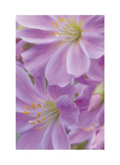 Lewisia I-Donald Paulson-Giclee Print